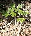 Dendropanax trifidus (young tree).jpg