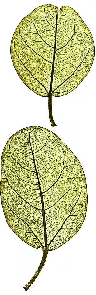 Ficus benghalensis - Nature printed leaves, showing shape and venation