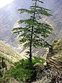 Deodar trees standing on the peaks of Chattrari village.JPG
