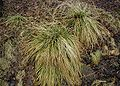 Deschampsia-caerulea-winter.JPG