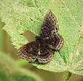 Detritivora sp. (most likely D. barnesi) (27962137987).jpg