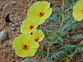 Devil's Thorn Flowers (Tribulus zeyheri) (6865171988).jpg