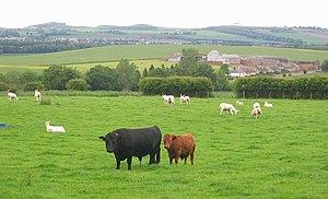 Dexter cattle - Dexter cattle, Bolton