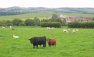 Dexter cattle - Dexter cattle, Bolton