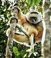 Diademed Sifaka, Madagascar (21101770242).jpg