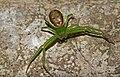 Diaea-dorsata-krabbenspinne.jpg
