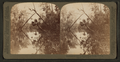 Diamond Palms, Oklawaha River, Florida, from Robert N. Dennis collection of stereoscopic views.png