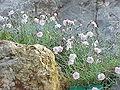 Dianthus gratianopolitanus2.jpg