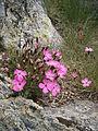 Dianthus pavonius 001.JPG