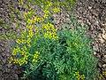 Die Weinraute, lat. Ruta graveolens, Pflanze mit den gelben Blüten.jpg