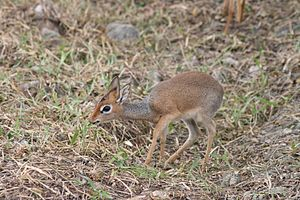 Dik-dik - Dik-dik eating