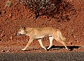 Dingo on the road.jpg