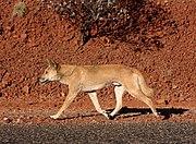 Dingo on the road.jpg