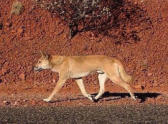Canis lupus dingo - Australian dingo