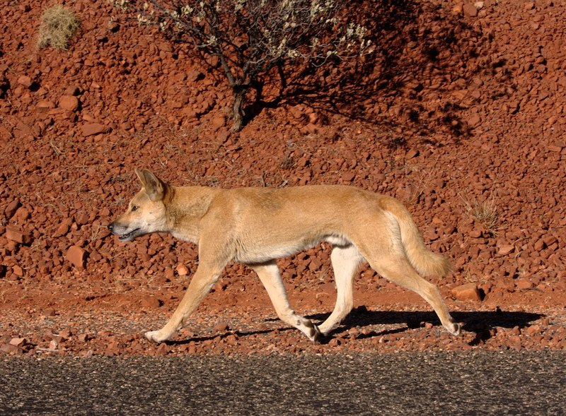 File:Dingo on the road.jpg
