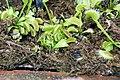 Dionaea muscipula 34zz.jpg