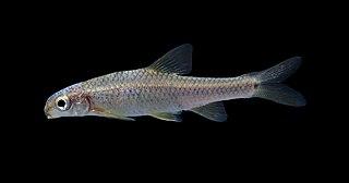 Devils River minnow species of fish