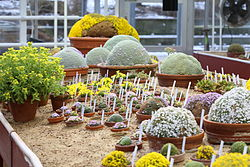 Dionysia collection at Gothenburg Botanical Garden 2015 002.JPG
