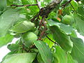 Diospyros kaki fruit 03 by Line1.JPG