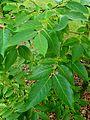 Diospyros lotus kz1.jpg
