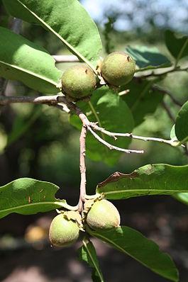 Früchte und Blätter von Diospyros mespiliformis