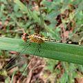 Diplacodes trivialis, female at Mechode Padur.jpg