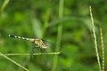 Diplacodes trivialis female of Kadavoor.jpg