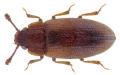 Diplocoelus fagi (Guérin Méneville, 1844).png