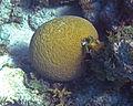 Diploria labyrinthiformis (grooved brain coral) (San Salvador Island, Bahamas) 3 (15945858008).jpg