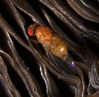 <i>Drosophila neotestacea</i> Species of fly