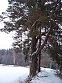 Dolní Kracle, strom na hrázi.jpg