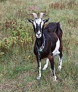 Domestic goat 2020 G3.jpg