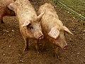 Domestic pigs (Sus scrofa domesticus) (8620573441).jpg