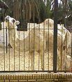 Dormadaire zoo Tozeur.jpg