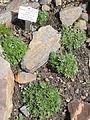 Draba magellanica - Palmengarten Frankfurt - DSC01894.JPG