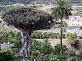 Drago.Icod de los Vinos.Tenerife.jpg