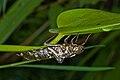 Dragonfly (Aeshna sp.) exuvia, Stuttgart, Germany - 20090724-03.jpg