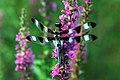 Dragonfly in Spring.jpg