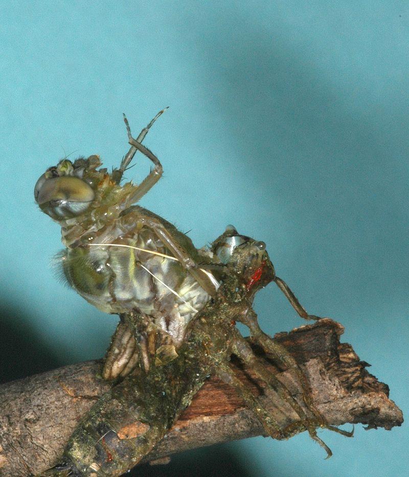 Dragonfly metamorphosis.jpg