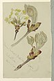 Drawing, Studies. Horse Chestnut and Maple Buds Unfolding, Central Park, N.Y.C., April 26, 1880 (CH 18368991).jpg