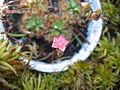 Drosera pulchella flower.jpg