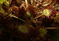 Drosera rotundifolia PID645-5.jpg
