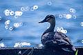 Duck (9423314951).jpg