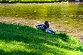 Ducks (39238220065).jpg
