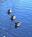 Ducks - panoramio - Laima Gūtmane (simka….jpg