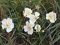 Duinroos Rosa pimpinellifolia (1).jpg
