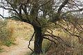Dune degli Alberoni, Sentiero e albero.jpg