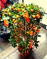 Dwarf Orange Tree.JPG