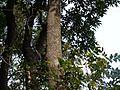 Dysoxylum binectariferum (8149966204).jpg