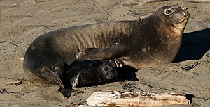 Northern elephant seal - Mother and pup, Piedras Blancas